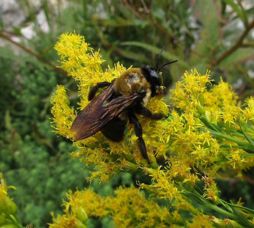 Female Eastern Carpenter Bee feeding on Tall Goldenrod