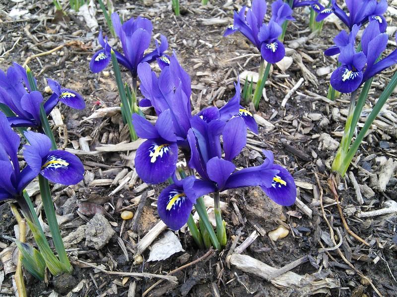 'Pixie' Reticulated Iris