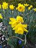 'Saint Keverne' Daffodil
