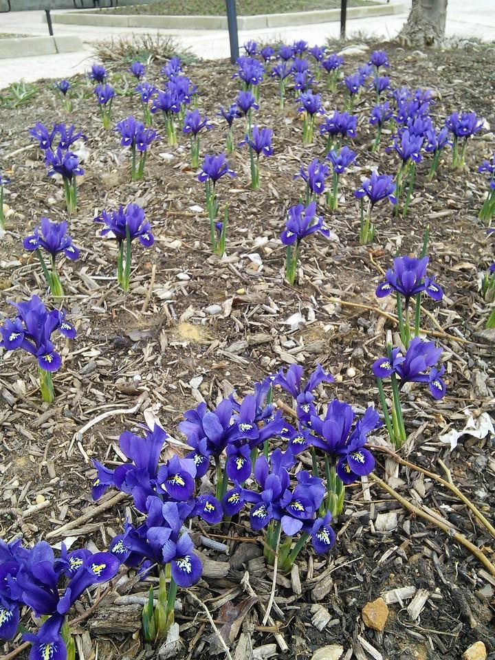 'Pixie' Reticualted Iris