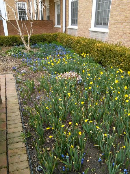 Spring Bulbs in the Benjamin Courtyard Garden