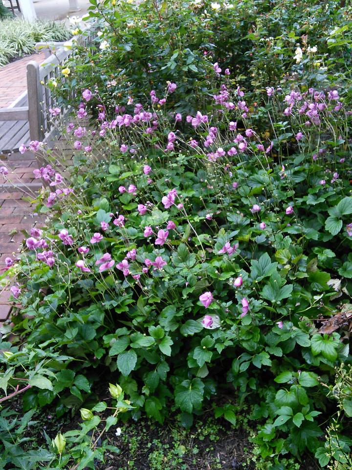 'September Charm' Hybrid Anemone