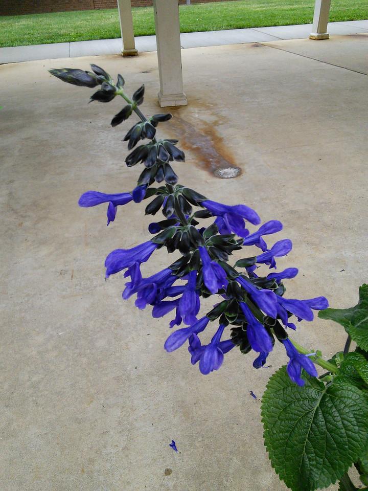 'Costa Rican Blue' Sage