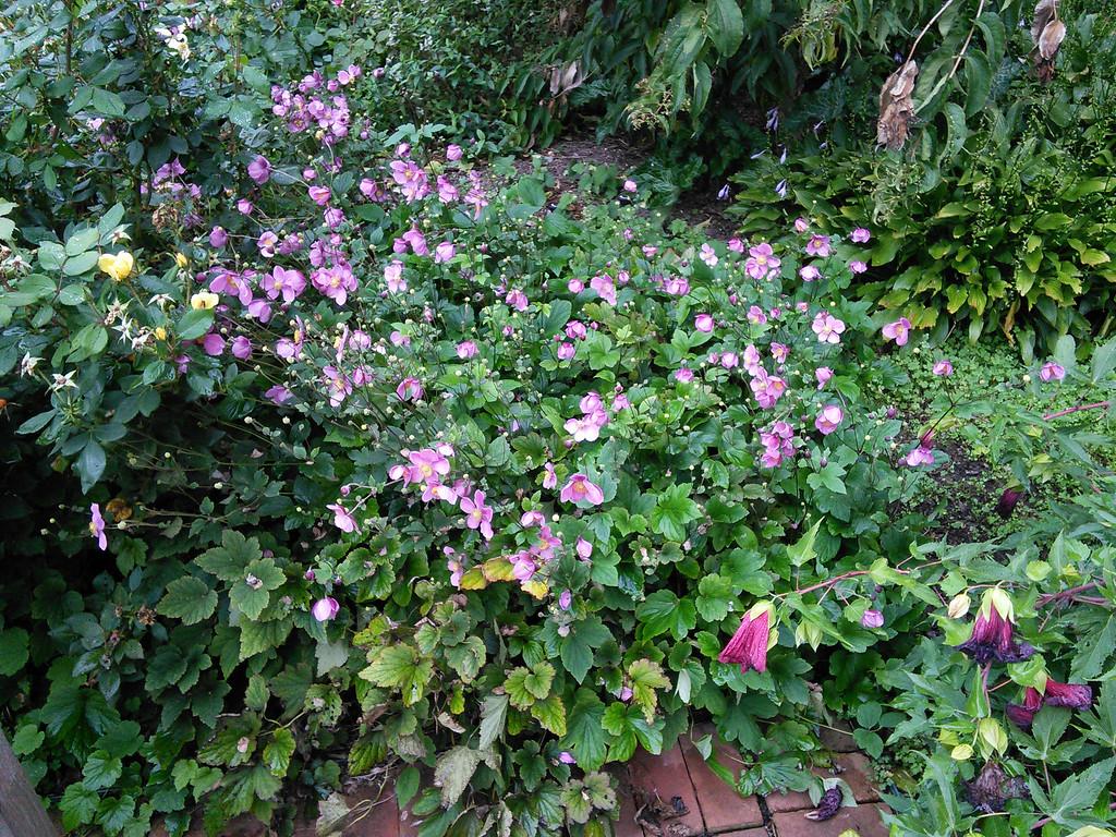 ' September Charm' Hybrid Anemone