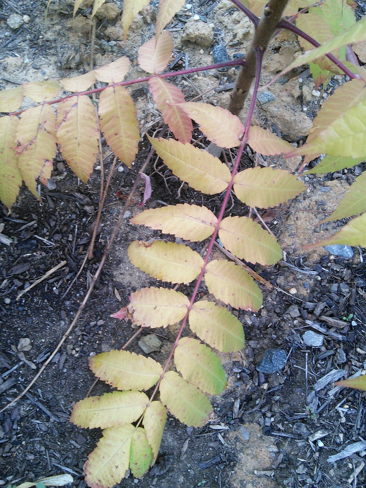Yellow Foliaged Staghorn Sumac