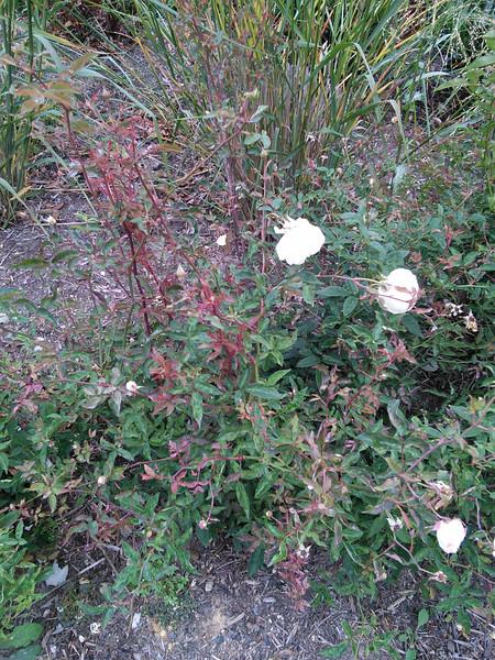 'Ducher' China Rose