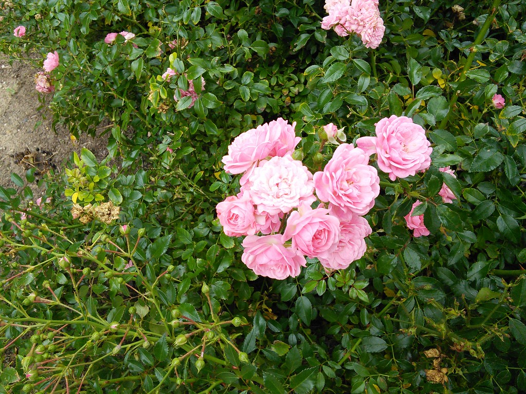 'The Fairy' Polyantha Rose