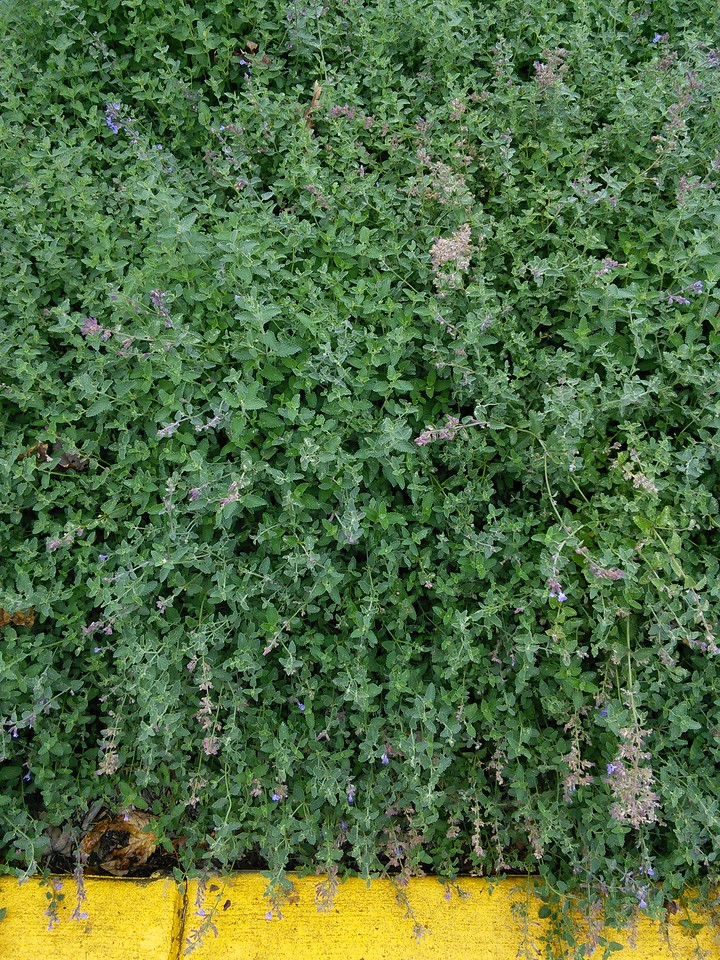 'Walker's Low' Catmint or Catnip
