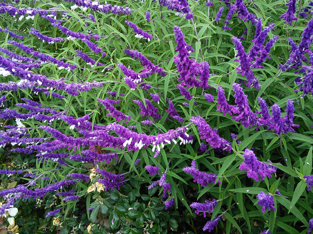 'Greenwood' and 'Midnight' Mexican Bush Sage