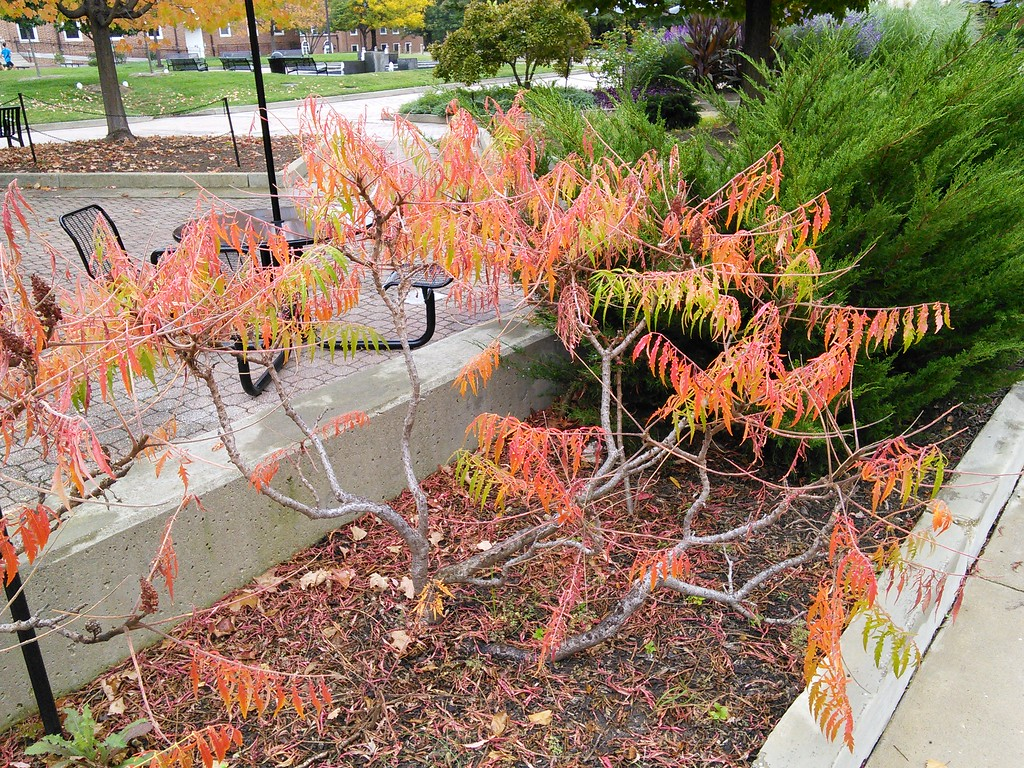 Tiger Eyes Staghorn Sumac Fall Color