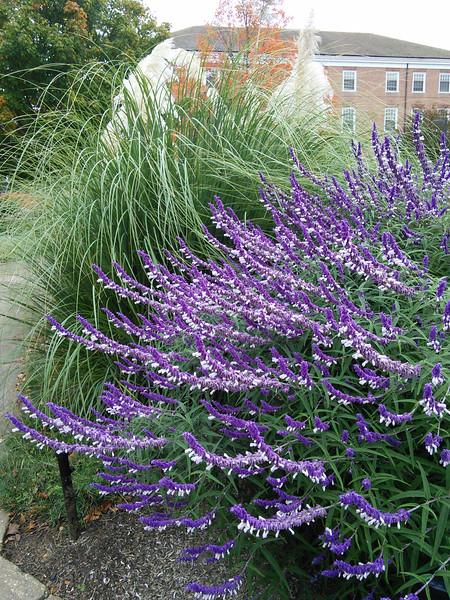 'Greenwood' Mexican Bush Sage