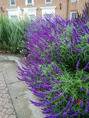 'Midnight' Mexican Bush Sage