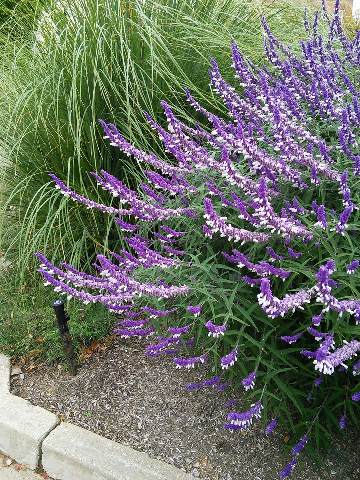 'Greenwood' Mexican Bush Sage