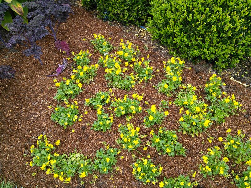 Sorbet XP Yellow Violas
