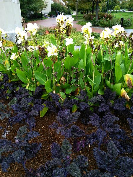 Redbor Kale and 'Ermine' Cannas