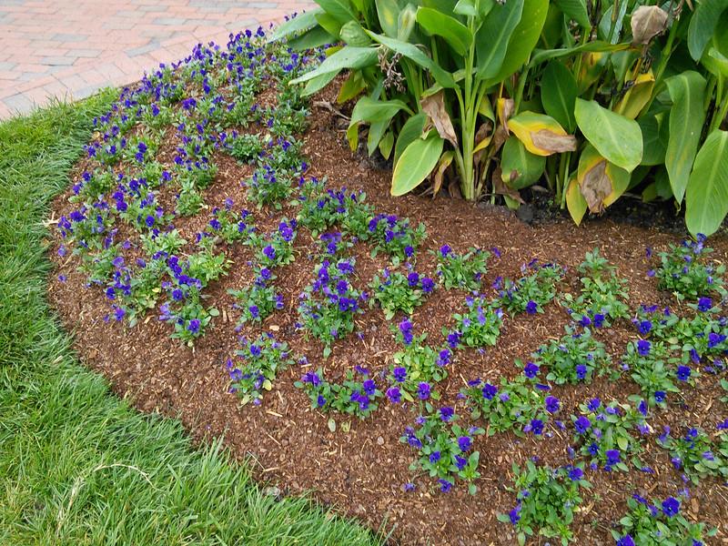Sorbet XP Blue Blotch Viola