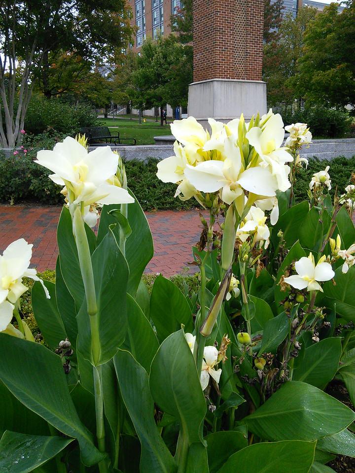 'Ermine' Canna Blossoms