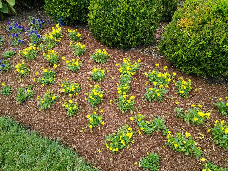 Sorbet XP Yellow Viola
