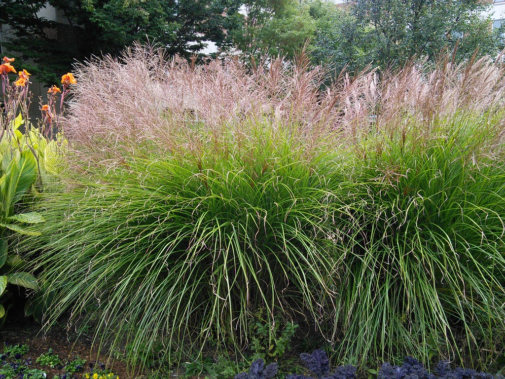 'Gracillimus' Maiden Grass