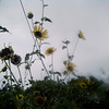 Austin - sunflowers in the rain
