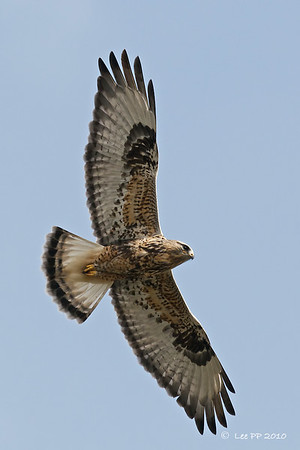 Rough-legged Hawk could be seen circling overhead
