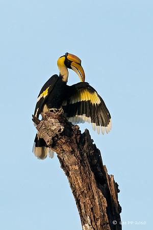 Great Hornbill @ Langkawi, Kedah, Malaysia