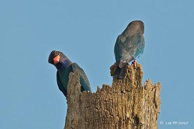 Dollarbirds @ Teluk Intan, Perak, Malaysia
