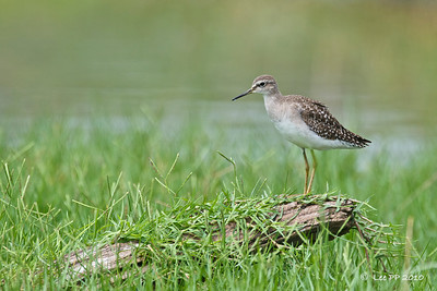 Wood Sandpiper  A really common bird there.....