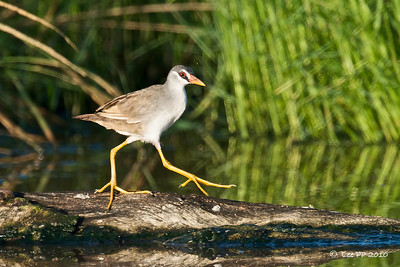 White-browed crake  It seemed happy to strut up and down the log.....amazing luck today!!
