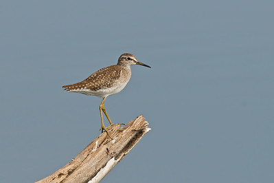 Wood Sandpiper  Very common bird. With so many different perches and different backgrounds for them to pose on, wouldnt you agree this a great place for bird photographers?