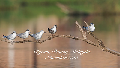 A photo journey of birds that I saw and photographed in Byram, Penang, Malaysia. Click on slideshow or the image for a larger view.  This place has lots of freshwater ponds which birds love to rest and search for food. The natural perches so abundant in the area were great for the birds as well as for the photographers!  Love this place!