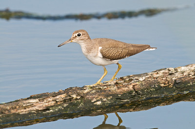 Common Sandpiper  It was quite wary of me and so was great in getting images with some eye contact!