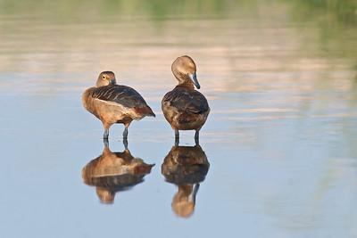 Lesser Whistling-Ducks  Another pose - I love ducks' poses :-)