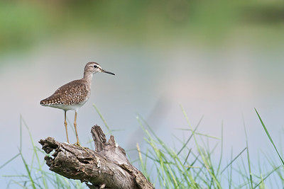 Wood Sandpiper   Changed its pose......