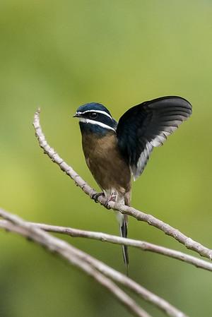 Whiskered tree-swift