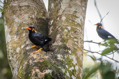 Attracted by the noise they made, I observed a flock of jungle mynas taking turns to have a cool bath on a little pool of water trapped in between two trunks of a tree.