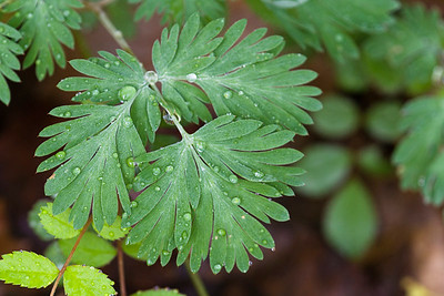Leaves of Dutchman's Breeches