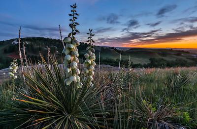 Yucca at Sunset near Spearfish