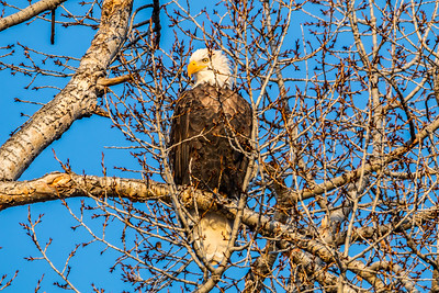 Bald Eagle at the Spearfish City Campground