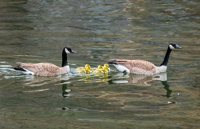 Goslings at D.C. Booth Fish Hatchery