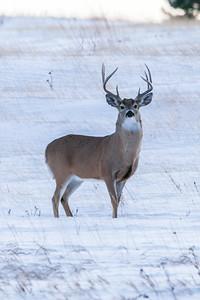 Buck in the Black Hills