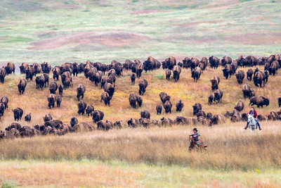 Custer State Park Buffalo Roundup 2019
