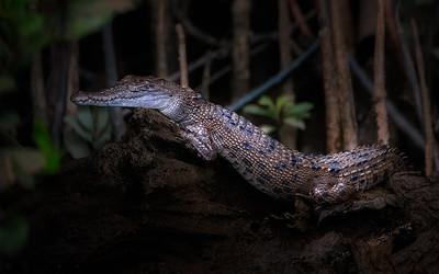 Baby Saltwater Crocodile