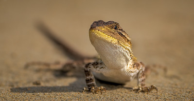 Lizard on Wimbie Beach