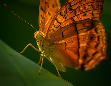 The Cruiser Butterfly
