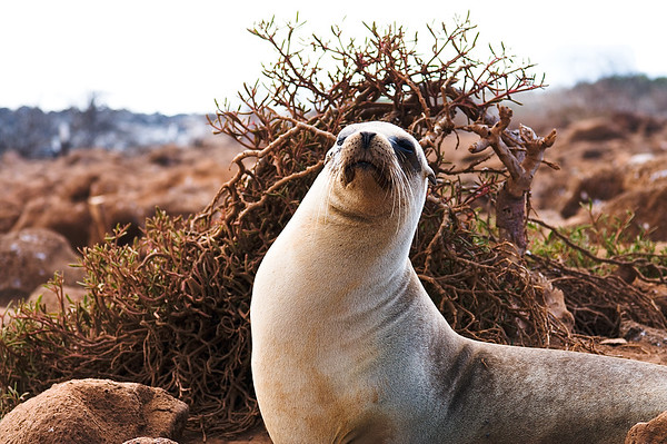 Journey into Baltra Island in the Galapagos Archipelago 3 Sea Lion Looking