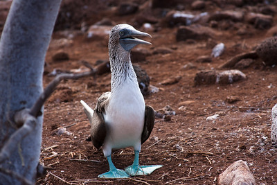 Journey into Baltra Island in the Galapagos Archipelago 8 Blue Footed Booby Standing