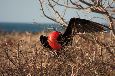 Journey into Baltra Island in the Galapagos Archipelago 17 Frigete Bird Seeking a Mate