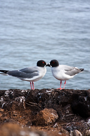 Journey into Baltra Island in the Galapagos Archipelago 7 Bird Bonding