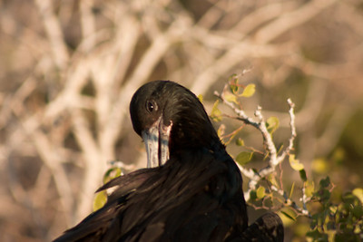 Journey into Baltra Island in the Galapagos Archipelago 26 Frigate Bird Grooming